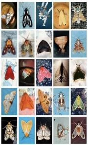 emmet moths